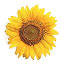 Sunflower sizedforweb